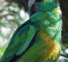 Port Lincoln Parrot - Crystal Brook, South Australia by Dan & Emma Monceaux