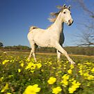 Horse galloping through a field of flowers by Gustav Snyman