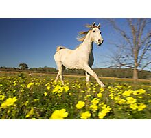 Horse galloping through a field of flowers Photographic Print