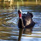 Swan Reflections by Josie Eldred