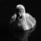 """""""Quiet Reflections"""" - Cygnet by Sophie Lapsley"""