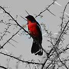 Crimson Breasted Shrike by Donald  Mavor