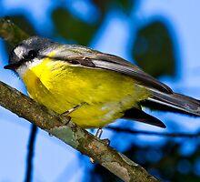 Eastern Yellow Robin by Steve Bass