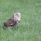 Burrowing Owl (Athene cunicularia) by DutchLumix