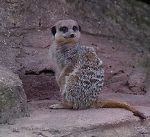 Another Meerkat day by DEB VINCENT