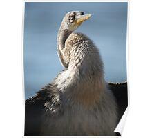 Feathery Cormorant Poster