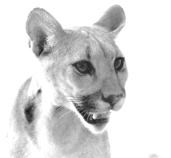 Mountain Lion at C.A.L.M. by Corri Gryting Gutzman