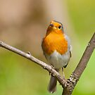 Little Robin Red Breast by M.S. Photography/Art