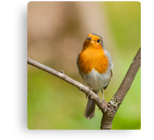 Little Robin Red Breast Canvas Print