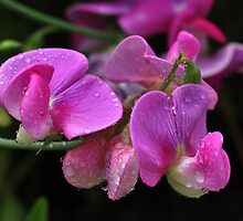 Sweet Pea by Elaine  Manley