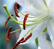Cinnamon Sticks and Petals  by Elaine  Manley