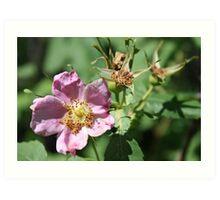 Wild Rose Art Print