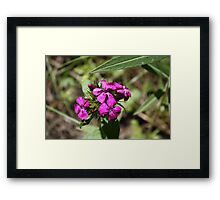 Wild Sweet Williams Framed Print