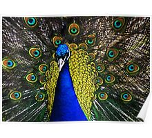 Peacock Showing Plumage - Full Colour digital image from Jenny Meehan   Poster