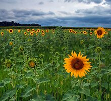 Sunflower Field by Michael Mill