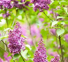Purple Syringa vulgaris by Arletta Cwalina