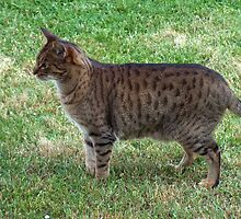 Cool Ocicat by felinefriends