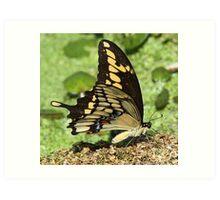 Eastern tiger swallowtail side-on Art Print