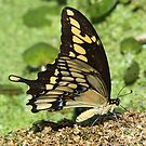 Eastern tiger swallowtail side-on by jozi1