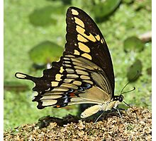 Eastern tiger swallowtail side-on Photographic Print