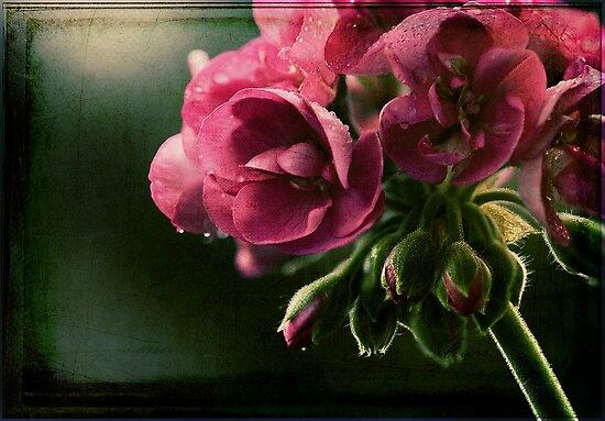 Geranium in Evening Light by micklyn