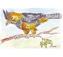 Crested Barbet in my garden Photographic Print