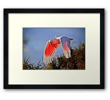 Flying Cocky Framed Print