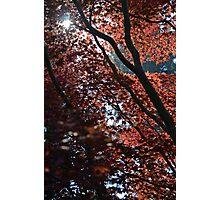 The Maple Photographic Print