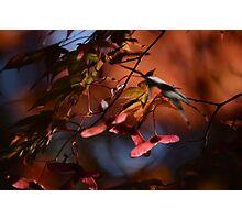 Maple Twist Photographic Print