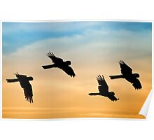 Black Cockatoo sunrise Poster