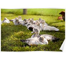 Muscovy Duck farm birds group Poster