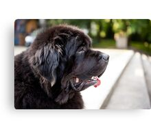 large black Newfoundland dog Canvas Print