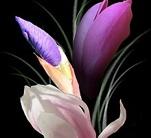 Magnolia in light and shadow by orko