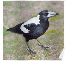 AUSTRALIAN MAGPIE - We are Meat Eaters and You Bring Seed Poster