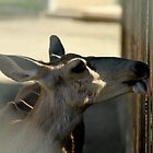 Mule Deer...My this fence tastes good... by Corri Gryting Gutzman