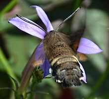 Humming bird Hawk Moth. Sidmouth Devon UK by lynn carter