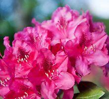 Azalea plant bright pink flowers by Arletta Cwalina