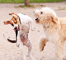 Dogs at Play by Darren Boucher