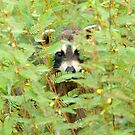 """Peeking Coon"" - Raccoon Peeks Out Behind Flowers by John Hartung"
