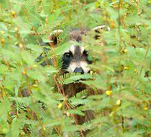 """""""Peeking Coon"""" - Raccoon Peeks Out Behind Flowers by John Hartung"""