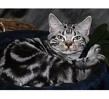 Awesome American Shorthair Photographic Print