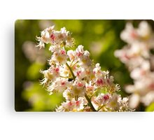 Aesculus flowers on green Canvas Print