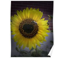 Sunflower bumble Bee 02 Poster
