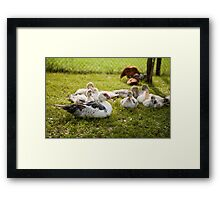 Muscovy Duck young birds group Framed Print