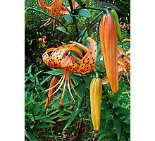Turks Cap Lily Wildflower - Lilium superbum Photographic Print