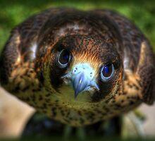 Barbary Falcon by Glenn Gilbert