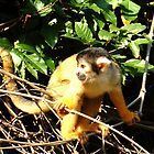 Capuchin Monkey - Amazon Basin by Honor Kyne