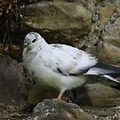 Rock Dove by Hovis
