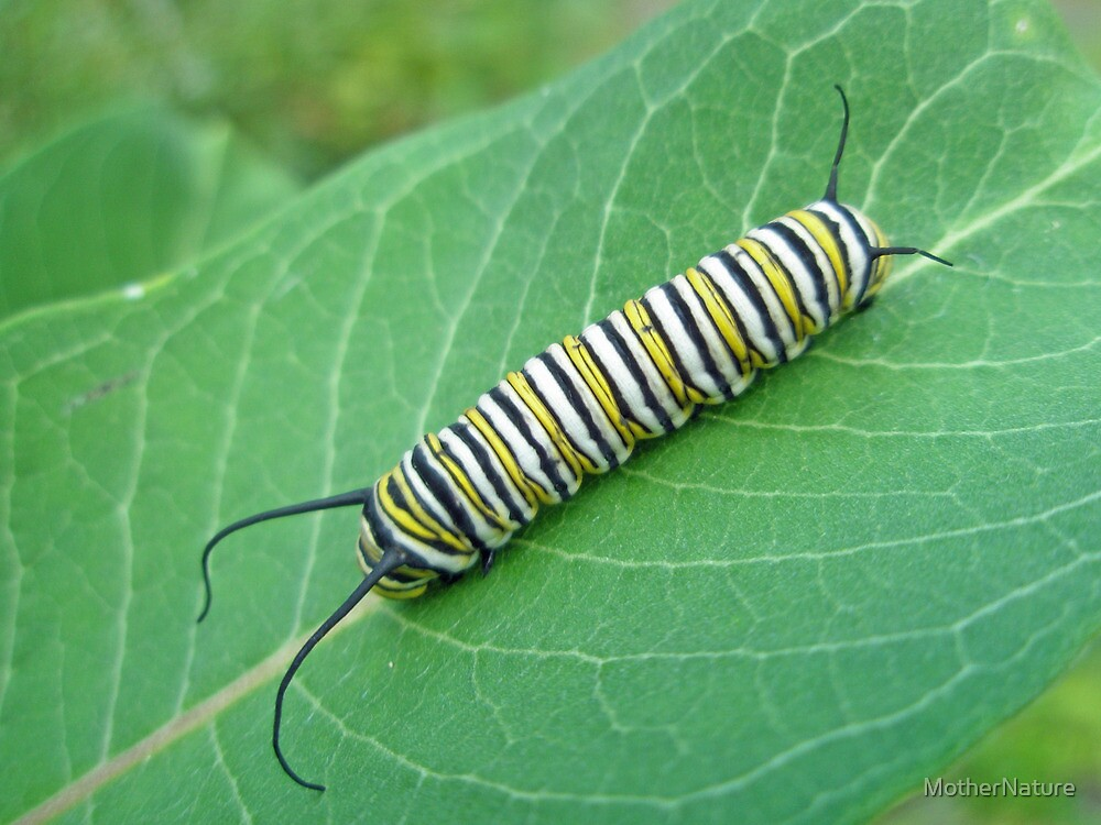 Monarch Butterfly Caterpillar - Danaus plexippus by MotherNature