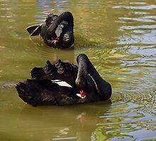 2 Black Swans by Wieslaw Jan Syposz